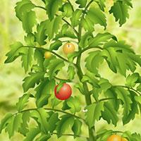 Гра Помідорна Ферма - вирощуй томати онлайн!